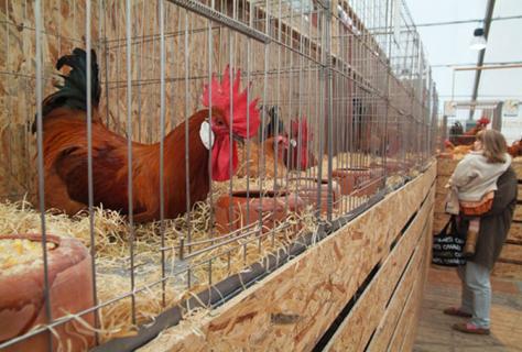 Els millors pollastres de pota blava, a la Fira Avícola del Prat de ... - VilaWeb